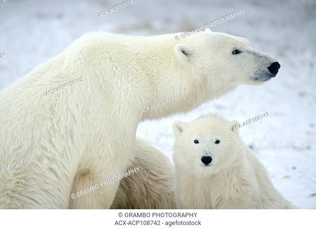 Mother polar bear with cubs, Ursus maritimus near Churchill, Manitoba, Canada