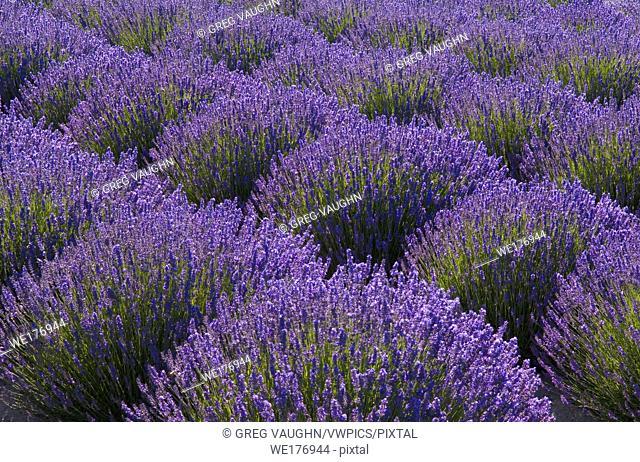 Lavender fields at Jardin du Soleil, Sequim, Washington