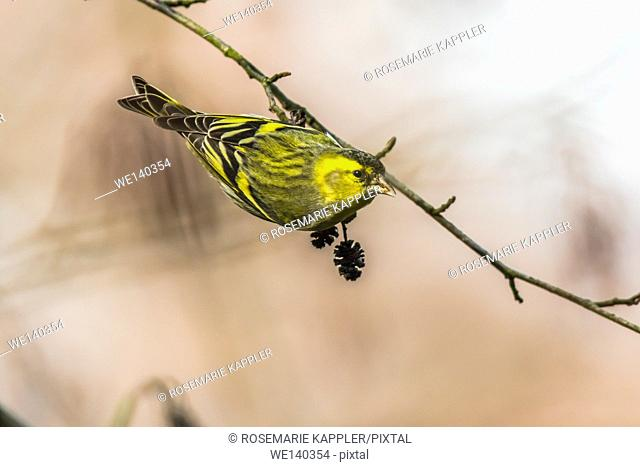 Germany, Saarland, Kirkel, A common siskin is hanging on a branch