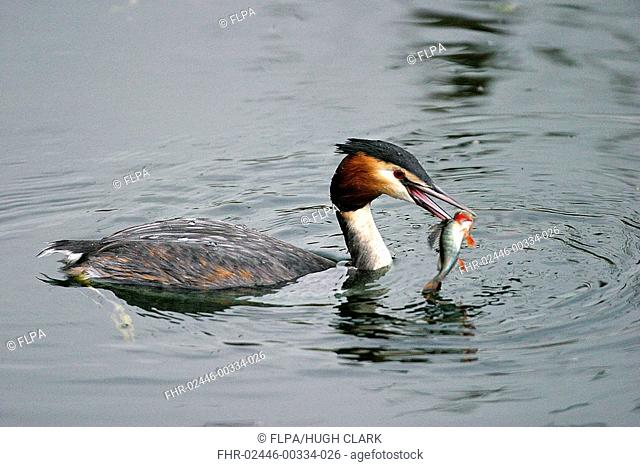 Great Crested Grebe Podiceps cristatus adult in water with perch in beak