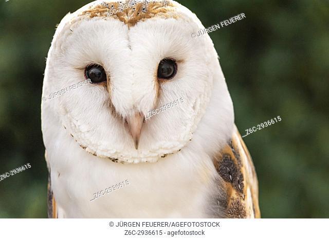 Barn Owl, Tyto alba, front view, captive bird, taken in Zahara, Andalusia, Spain