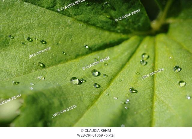 Water drops on lady's-mantle leaf, close-up