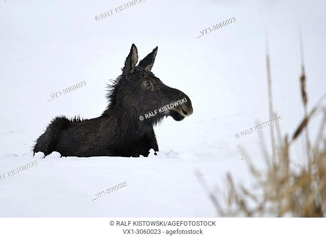 Moose / Elch (Alces alces) in its first winter, young calf, resting, lying, ruminating in snow, looks cute and funny, Yellowstone area, Wyoming, USA