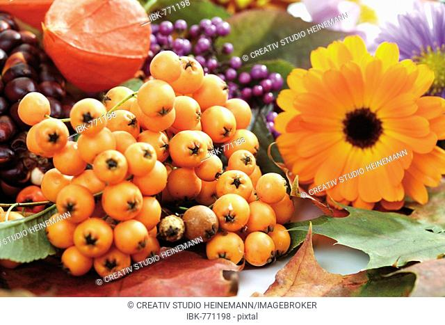 Autumn decoration: firethorn berries, beautyberries, Chinese lantern, pot marigold, colourful leaves