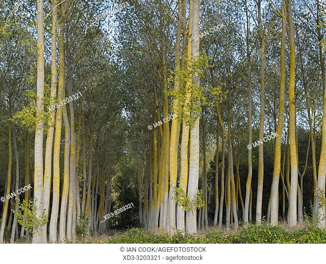 Poplar, Populus, plantation, Lot-et-Garonne Department, Nouvelle Aquitaine, France