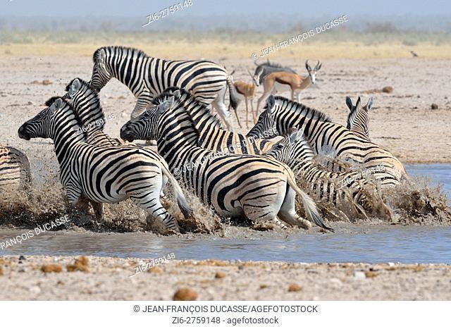 Herd of Burchell's zebras (Equus quagga burchellii), running out of the water, startled, springboks (Antidorcas marsupialis) behind, Etosha National Park