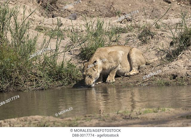 Africa, Southern Africa, South African Republic, Mala Mala game reserve, savannah, Lion (Panthera leo), female, drinking