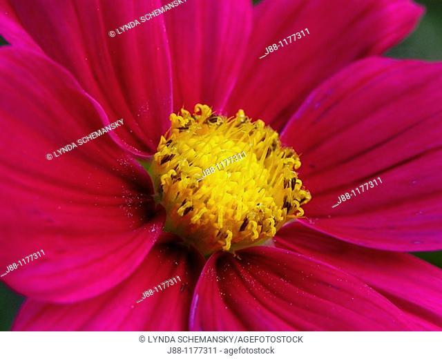 Scarlet cosmos flower, Cosmos bipinnatus