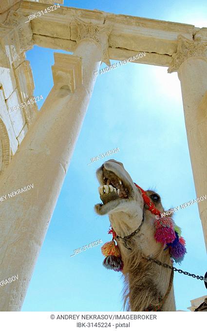 Camel (Camelus dromedarius) standing next to ruins, Palmyra, Tadmur, Palmyra District, Homs Governorate, Syria