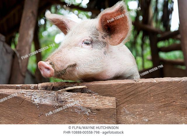 Domestic Pig, young, looking over fence, Uganda, June