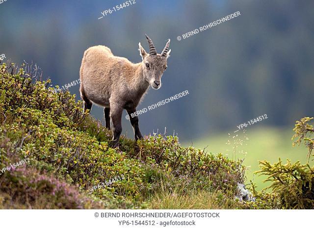 young Alpine Ibex Capra ibex, Niederhorn, Switzerland