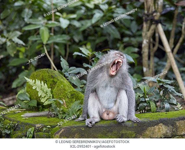 Long-tailed macaque (Macaca fascicularis) yawning. Sacred Monkey Forest Sanctuary, Ubud, Bali, Indonesia