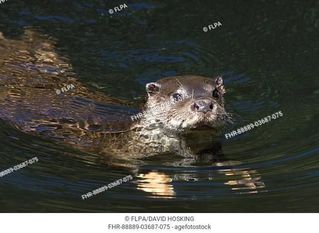 Common otter swimming, horton plains national park - sri lanka