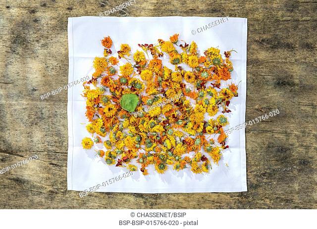 Dried organic herbal healing calendula on napkin over wooden table