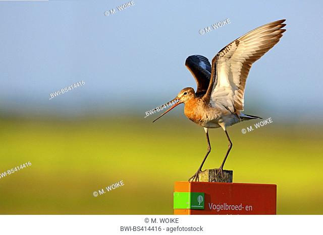 black-tailed godwit (Limosa limosa), landing on a fencing post, side view, Netherlands, Frisia