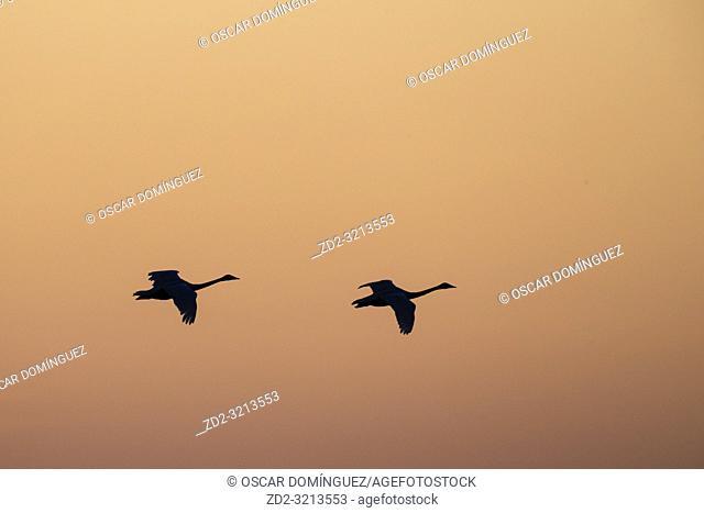 Whooper Swan (Cygnus cygnus) flying in to land at sunset in golden light. Lubana Wetland Complex. Latvia