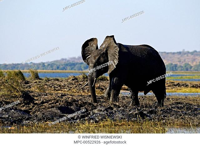 African Elephant (Loxodonta africana) male taking a mud bath near the Chobe River, Chobe National Park, Botswana