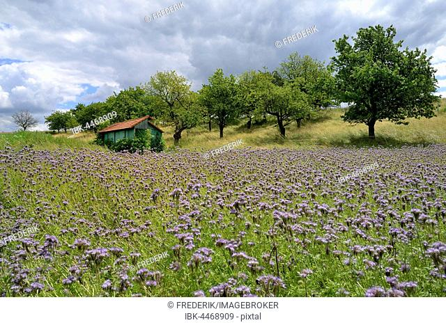 Woodshed between field with purple Phacelia (Phacelia sp.) flowers and cherry trees, Hesse, Germany