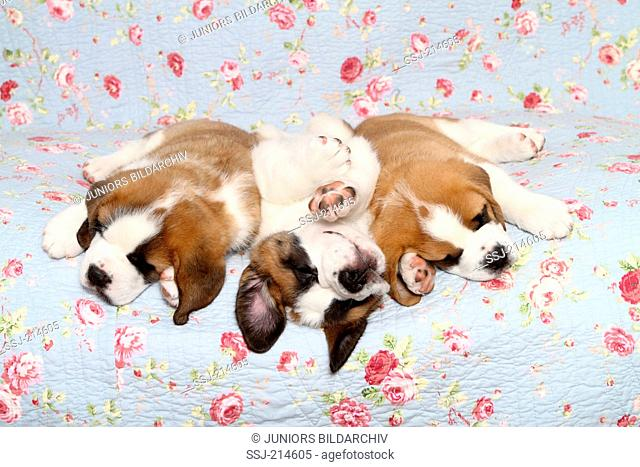 St. Bernard Dog. Three puppies (7 weeks old) sleeping on a blue blanket with rose flower print. Germany