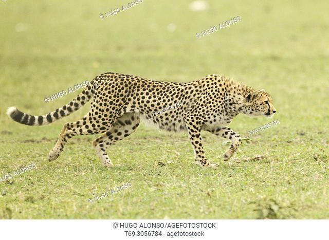 Cheetah. Acinonyx jubatus. Kenia. Africa