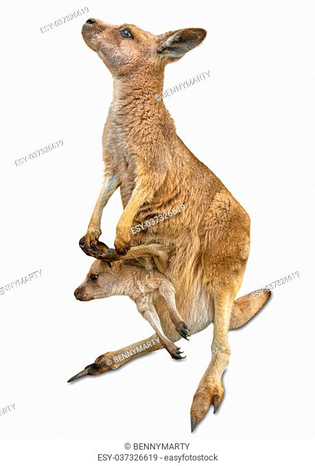 Red female kangaroo, Macropus rufus, with a baby in her pocket, isolated on white background. Concept of tenderness, protection and love