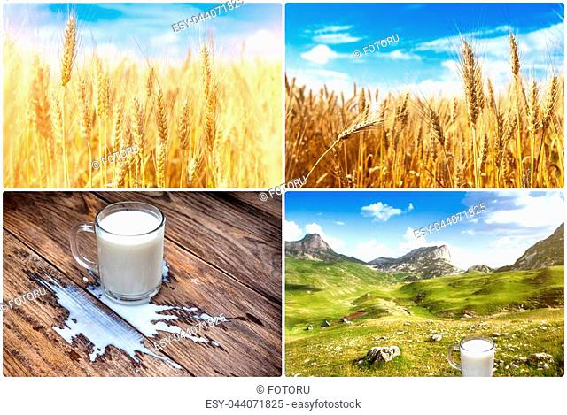 Milk in glassware on sunny nature background. wheat fields