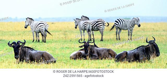 Plains zebra (Equus quagga, formerly Equus burchellii) and Blue wildebeest or common wildebeest, white-bearded wildebeest or brindled gnu (Connochaetes...