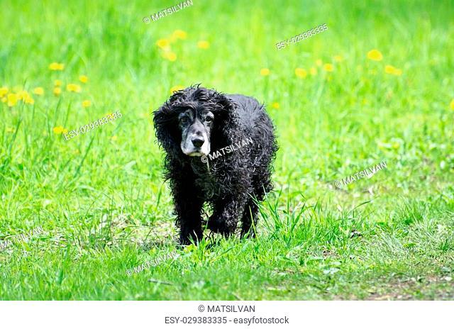 Cocker spaniel dog running on the green field