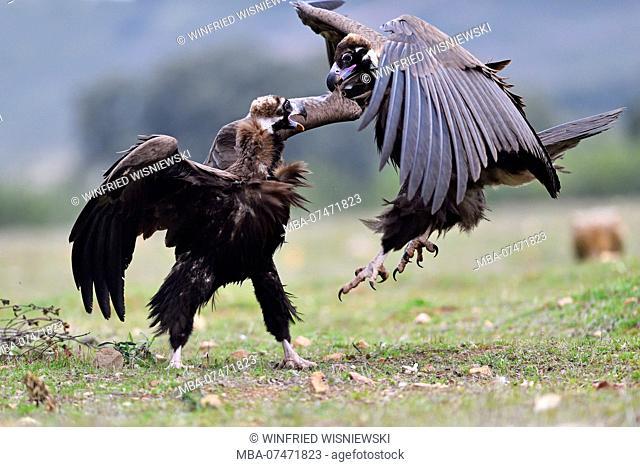 Black Vulture (Aegypius monachus) at bait place, Extremadura, Spain
