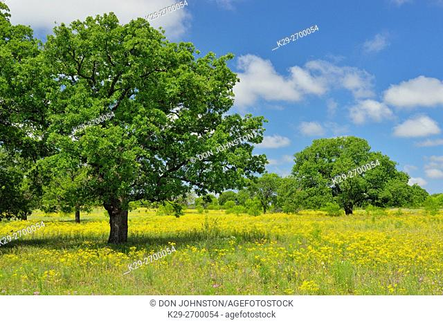 Oak tree and flowering groundsel along Ranch road 386, Mason County, Texas, USA