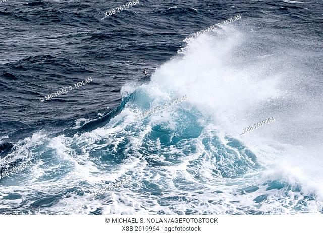 Adult cape petrel, Daption capense, in rough seas in English Strait, South Shetland Islands, Antarctica