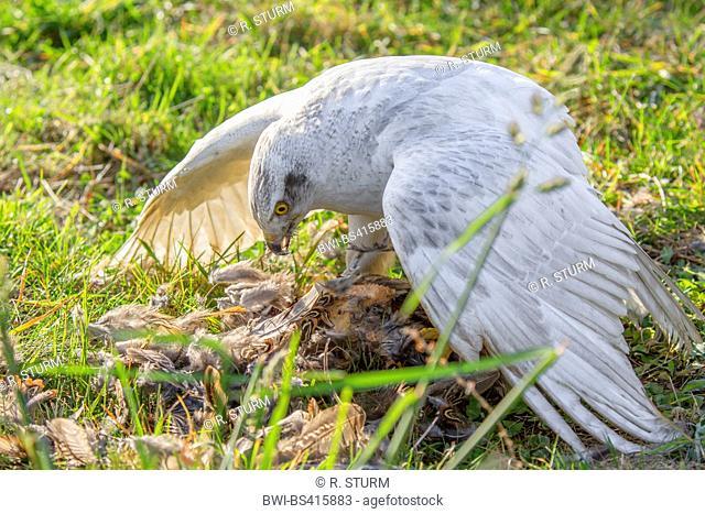 northern goshawk (Accipiter gentilis), albino picks a caught pheasant