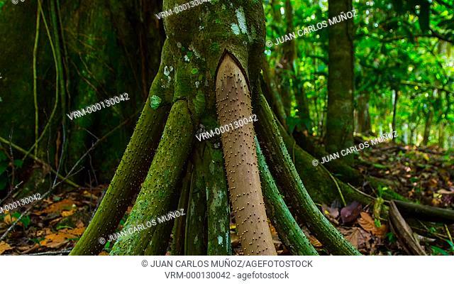 Walking Palm, Tropical forest, Dolphin Bay, Bocas del Toro Archipelago, Bocas del Toro Province, Panama, Central America, America
