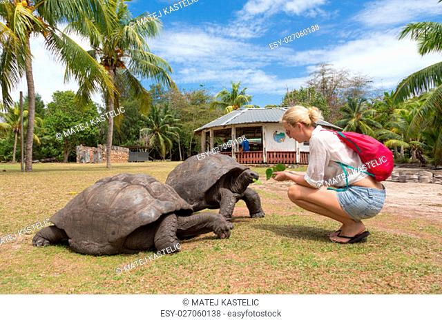 Female tourist woman feeding and admiring big old Aldabra giant tortoises, Aldabrachelys gigantea, in National Marine Park on Curieuse island