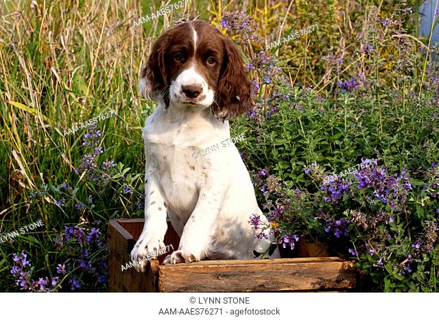 English Springer Spaniel pup in antique wooden egg box among wildflowers; Elkhorn, Wisconsin, USA (CL)
