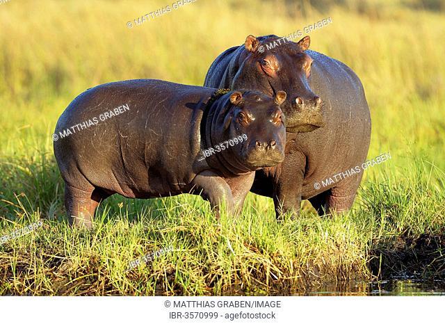Hippopotamuses (Hippopotamus amphibius)