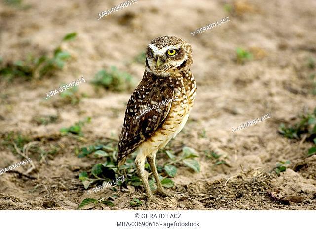 burrowing owl, Athene cunicularia, Los Lianos, Venezuela