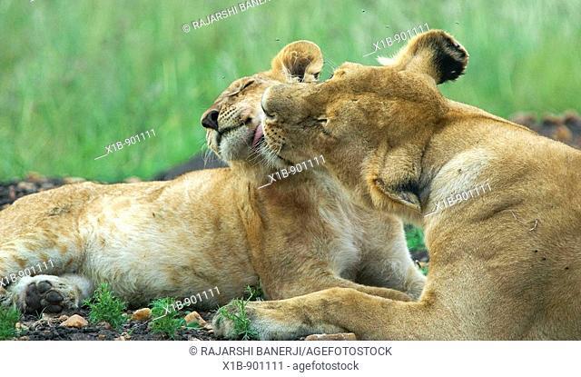Lioness and cub. Maasai Mara National Reserve. Kenya