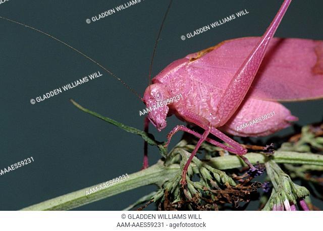 Katydid (Microcentrum spp.), LA