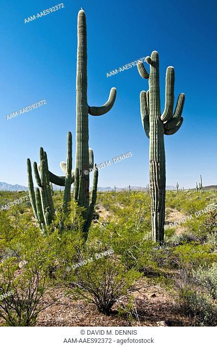 Saguaro Cactus (Carnegiea gigantea) Organ Pipe Cactus National Monument, AZ