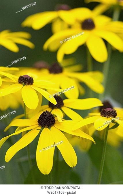 Sweet black-eyed Susan (Redbeckia submentosa) flowers. Cook County, Illinois USA