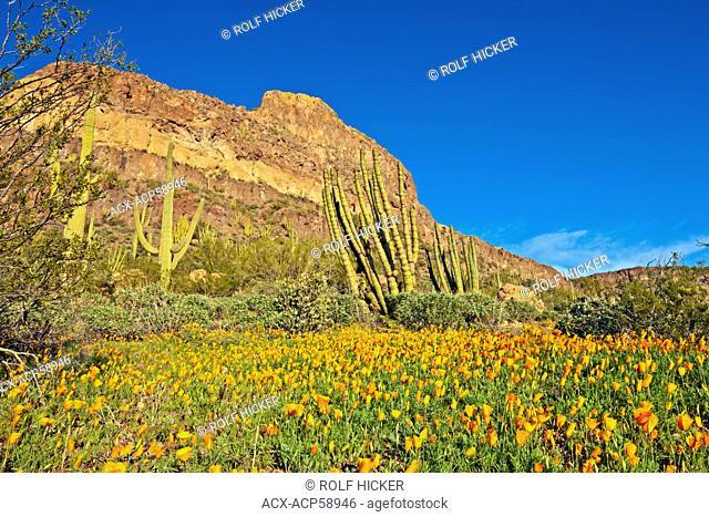 Ajo Range Mountains, Mexican gold poppy, Eschscholzia mexicana, Papaveraceae, Organ Pipe National Monument, Arizona, USA
