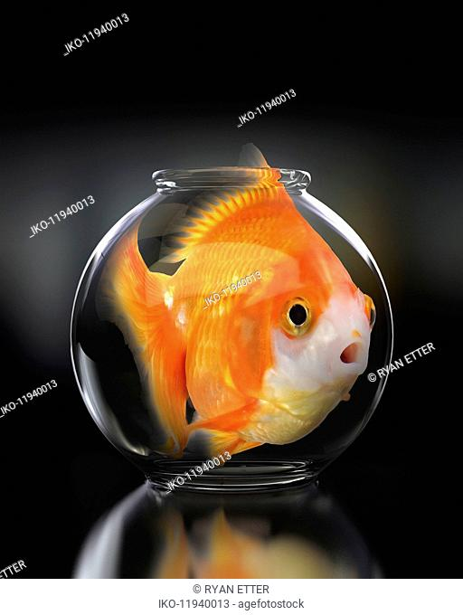 Large goldfish in trapped in small fishbowl