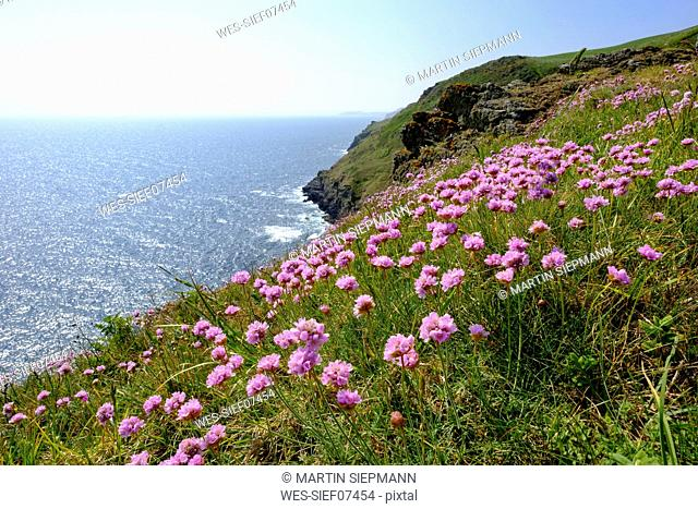 Sea pinks stock photos and images age fotostock uk england cornwall polperro sea thrift at the coast mightylinksfo