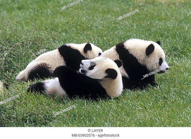Big panda, Ailuropoda melanoleuca,  Young, meadow, lie  Wildlife, wild animal, animals, mammals, carnivores, bamboo bears, three, foully, resting, relaxing