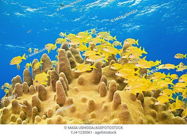 schooling French grunts, Haemulon Flavolineatum, and smallmouth grunts, Haemulon chrysargyreum, over pillar coral, Dendrogyra cylindrus