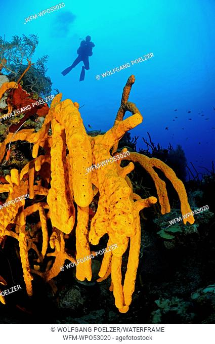 Yellow Tube Sponge in Caribbean Coral Reef, Aplysina fistularis, Maria la Gorda, Caribbean Sea, Cuba