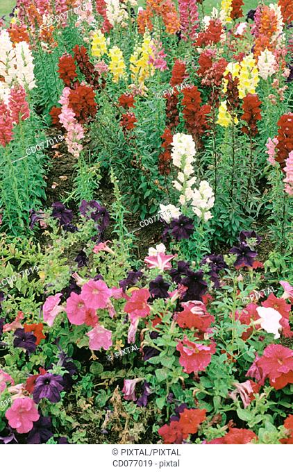 Botany: Snapdragons (Antirrhinum majus) and Petunias (Petunia sp.)