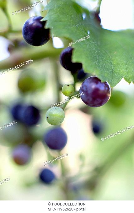 Ripening red grapes on a vine