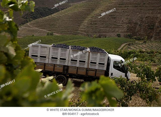 Grape harvest on the Quinta de Calabria vineyard, cultivation of Touriga Francesa grapes, belonging to the oenologist Rui Madeira from the CARM and VDS wineries